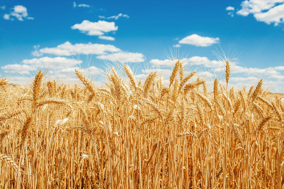 The Choice of Being Wheat or Tares (Article 17-15)