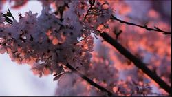 Cherry Blossoms in the Sun