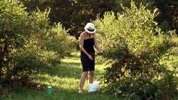 Angela picking blueberries
