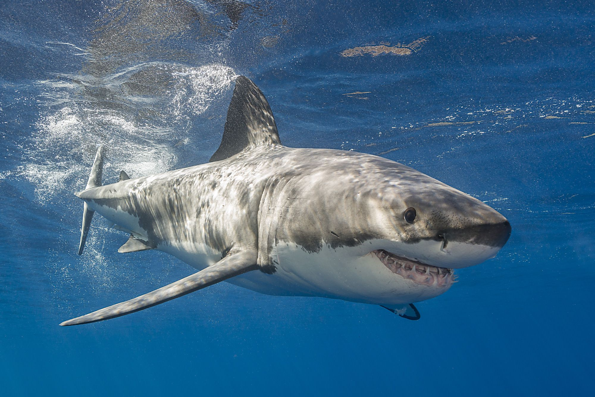 Great White Shark Trip 2023