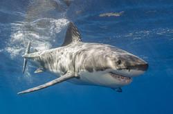 Great White Shark Trip 2023