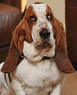 st paul the basset hound
