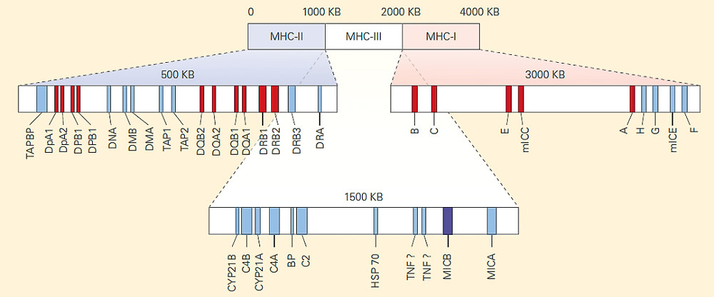 Genetic Map of the MHC Region