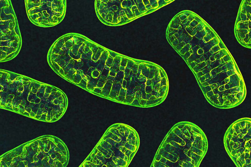Mitochondria, an organelle responsible for energy production