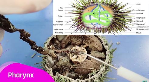 Sea-urchins-use-an-Aristotles-Lantern-wh
