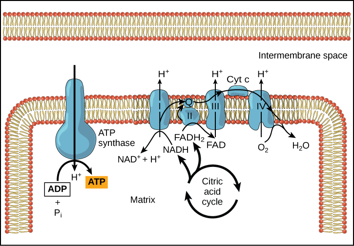 Diagram of the Electron Transport Chain