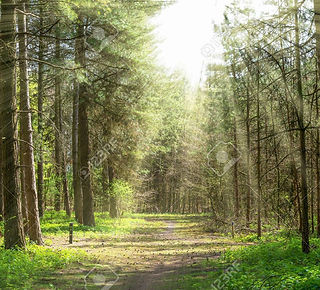 47222532-forrest-path-with-trees-in-the-