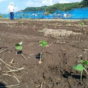 枝豆植え付け