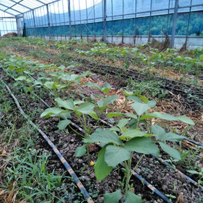 枝豆が大きくなってきました