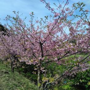 もう満開!!だけど春一番。