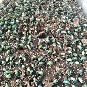 枝豆の芽が出た