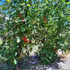 ミニトマトが元気に育ってきました