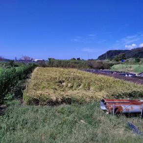 皆で植えたお米収穫、お届け出来そうです