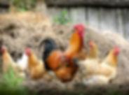 cock-2522623_1920.jpg