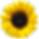 sunflower_PNG13369.png