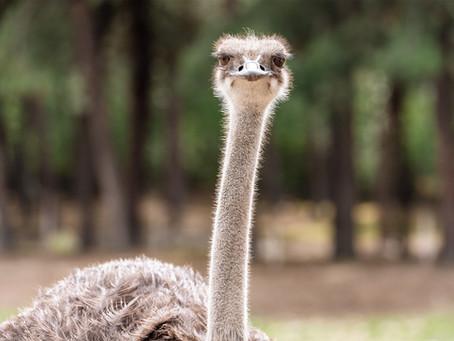 Ook voor je struisvogel