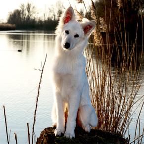 De Hondenfotograaf, poserende herdershon
