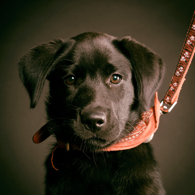 labrador-zwart.jpg