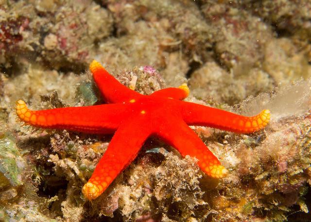 Red Sea Star, Fuji