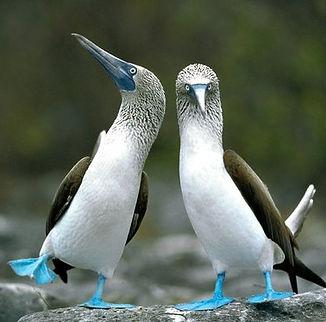 Zapchen-circular-image_Blue-footed booby