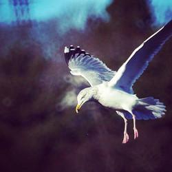 #gulls  #halifax