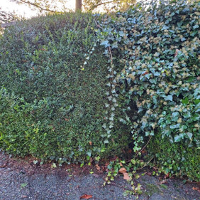 Hedge before trimming