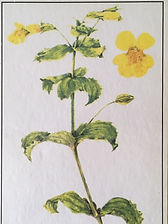 Mimulus, bach flowers, unknown fear