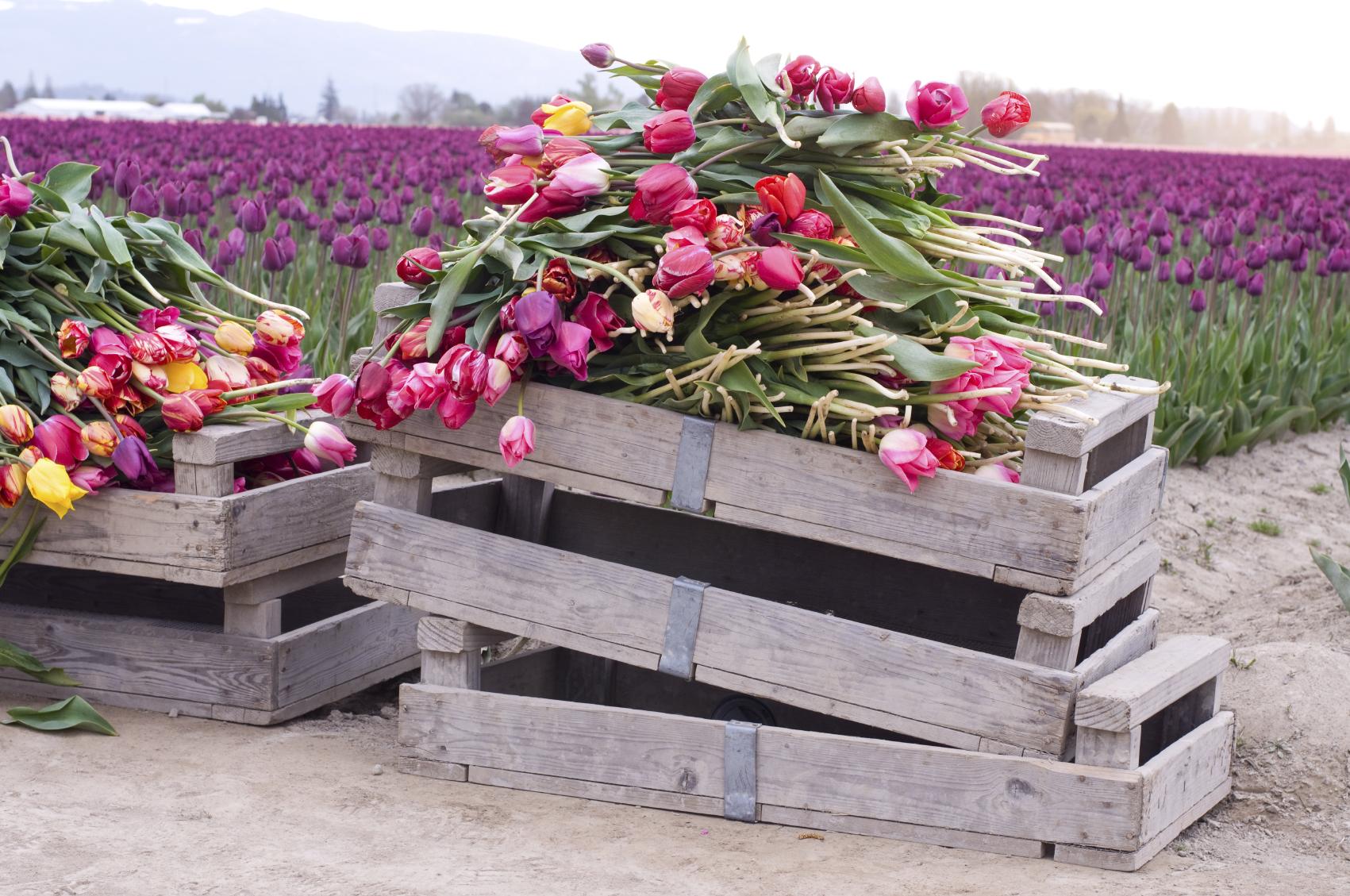 Fairytale Tulips