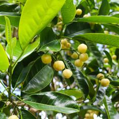 Lemon Aspen fruit