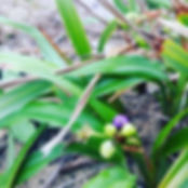 Dianella fruit in foraging workshop
