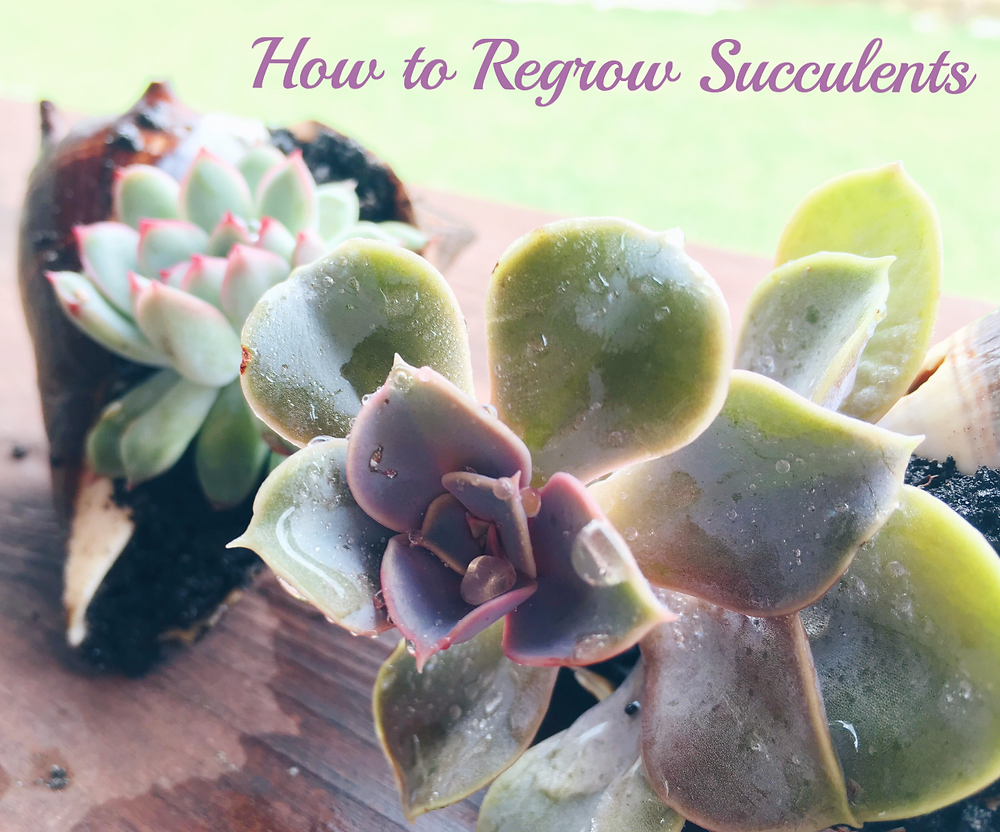 Regrow a succulent from a leaf by simply laying leaf on top of soil