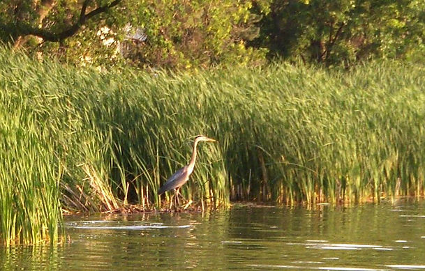 Blue Heron June 2006.JPG