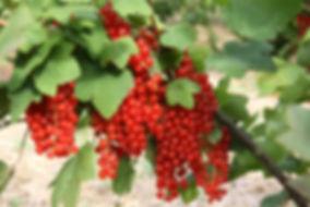 rode bessen snoeien
