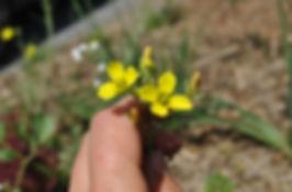 eetbare bloeme kool moestuin permacultuur