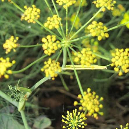 eetbare bloemen in Okker permacultuur tuin
