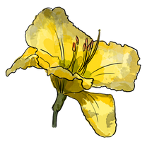 Lily Illustration