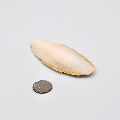 Small Cuttlebone