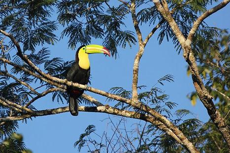 CCL-birds-Keel-billed-toucan.jpg