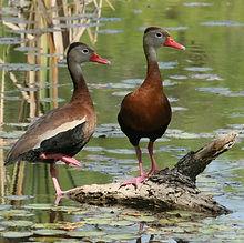 Black-bellied-Whistling-Duck-290-cr.jpg