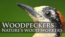 woodpeckers nature's wood workers
