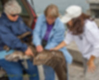 Bird rescue volunteers Sandy Reed and Sherry Keller assess injuries to a brown pelican on a popular fishing bridge