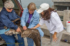 Bird rescue volunteers assess injuries to a brown pelican on the bridge