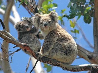 Kangaroo Island koalas hold key to population health