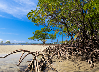 Carbon-rich mangrove forests at risk
