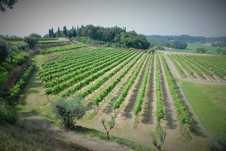 Marchesini_Vineyard_4.jpg