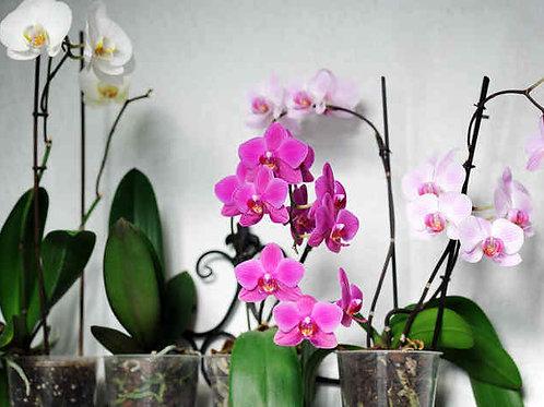Orchidée plante avec un pot de garniture + emballage