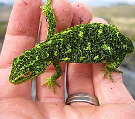 Ecology New Zealand west coast green gecko Naultinus tuberculatus