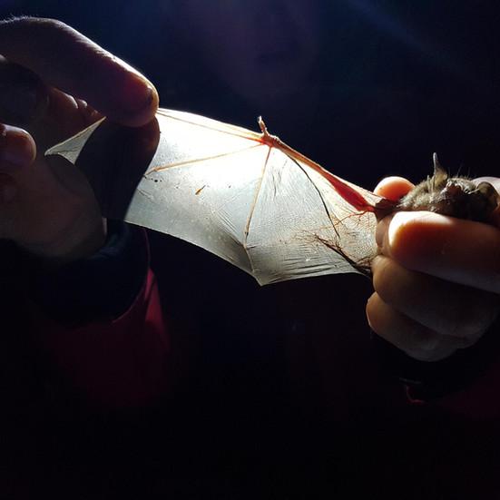 New Zealand Bat Research