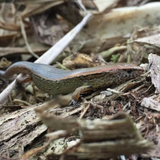 Successful Lizard Salvage