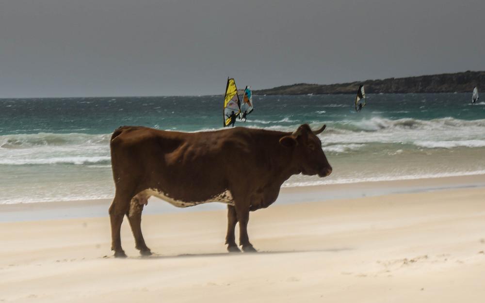 Cows surf vicariously